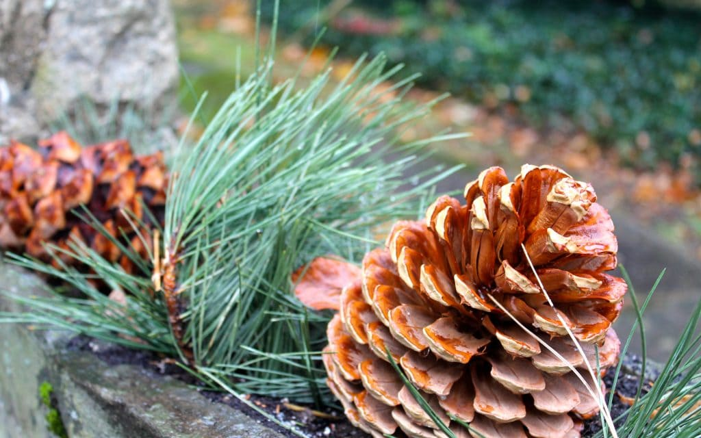 pinecones and fresh greenery in stone planters