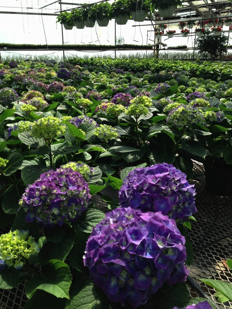 ehydrangeasas #valleyviewgreenhouses