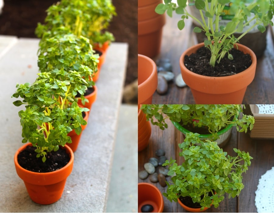 boxwood basil plants