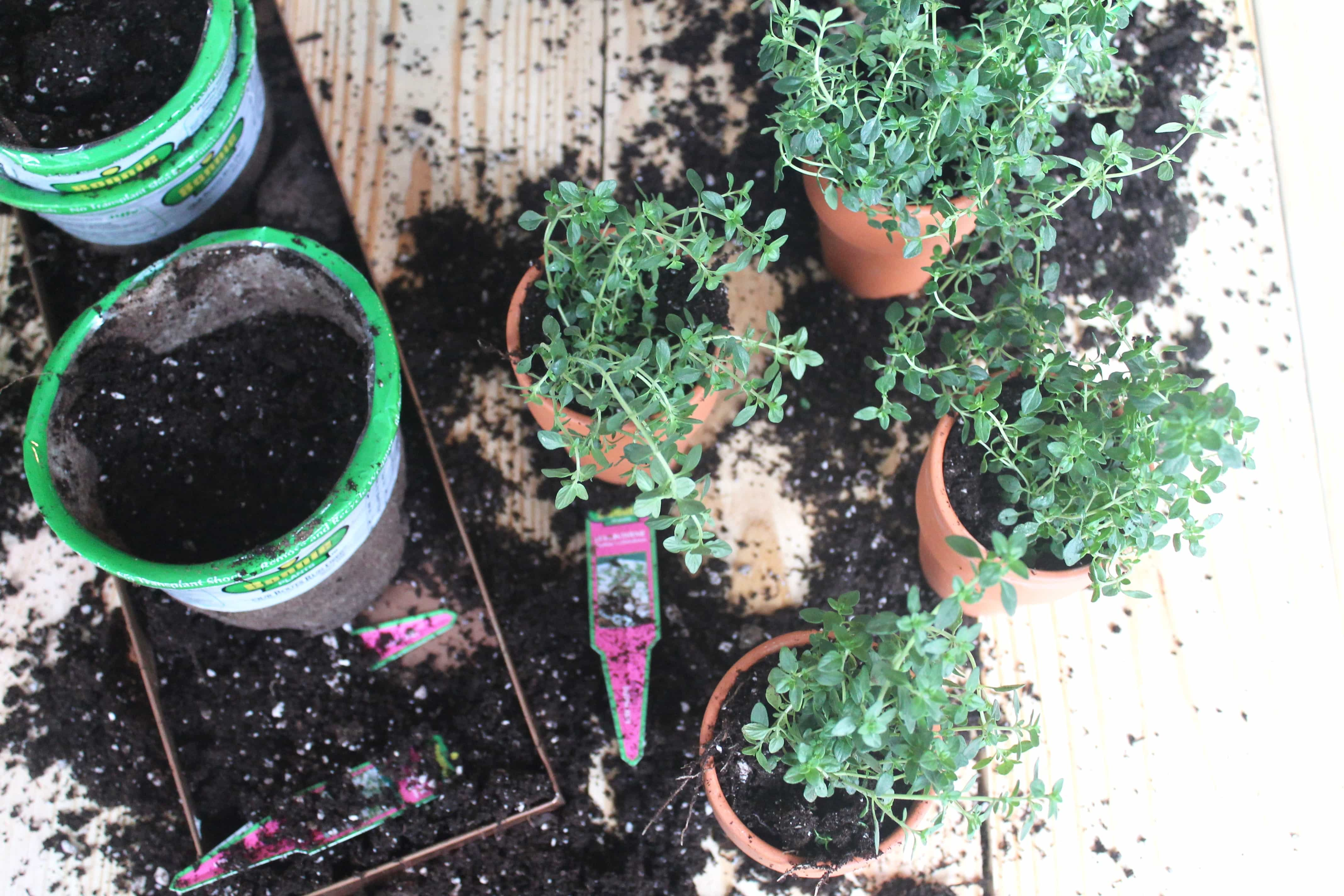 Micro Lemonb Thyme Plant for May Day Basket
