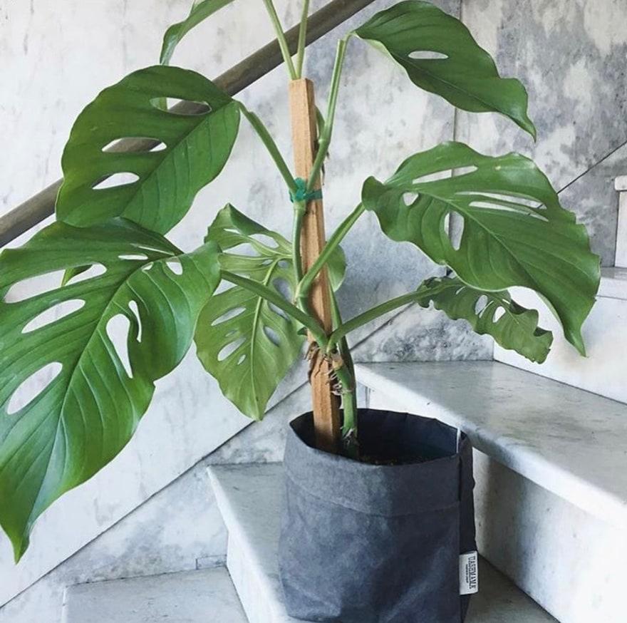 Monstera-Plant-UASHMAMA-bag-marble-steps-Portland-Hammer-and-Vin
