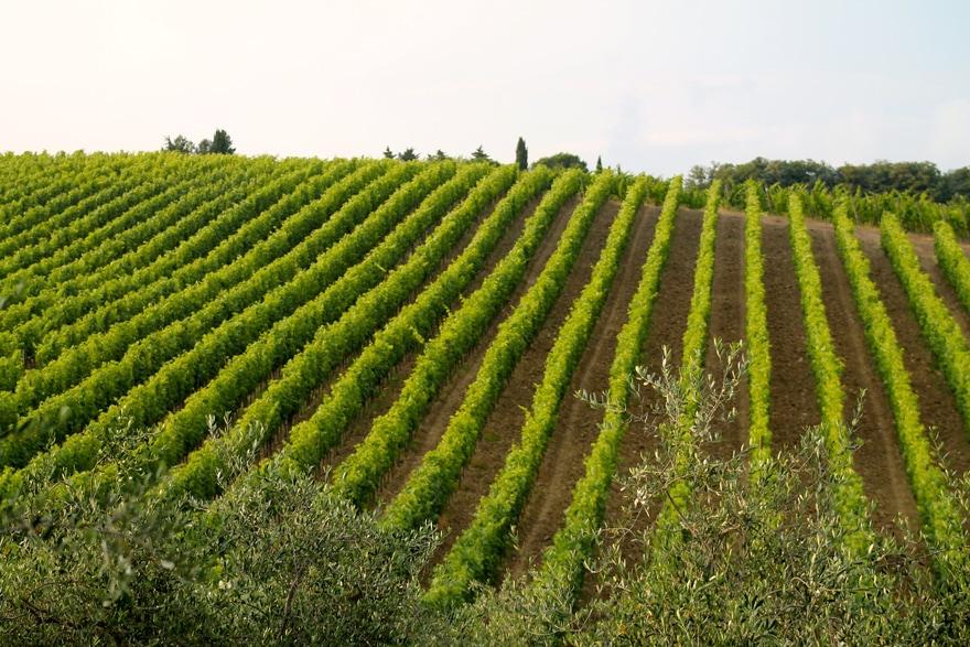 Tuscany-Grapevines-Italy