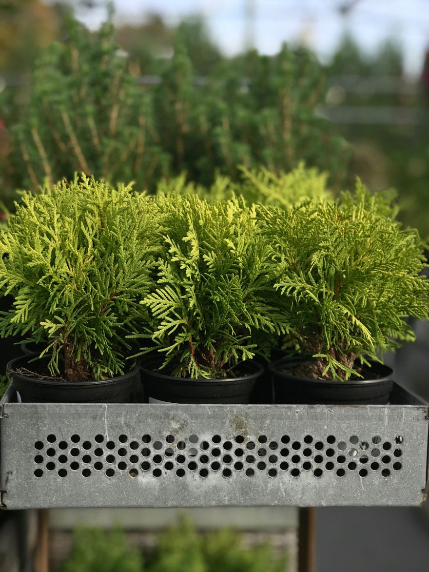 mini-conifers-evergreens-terrain-westport