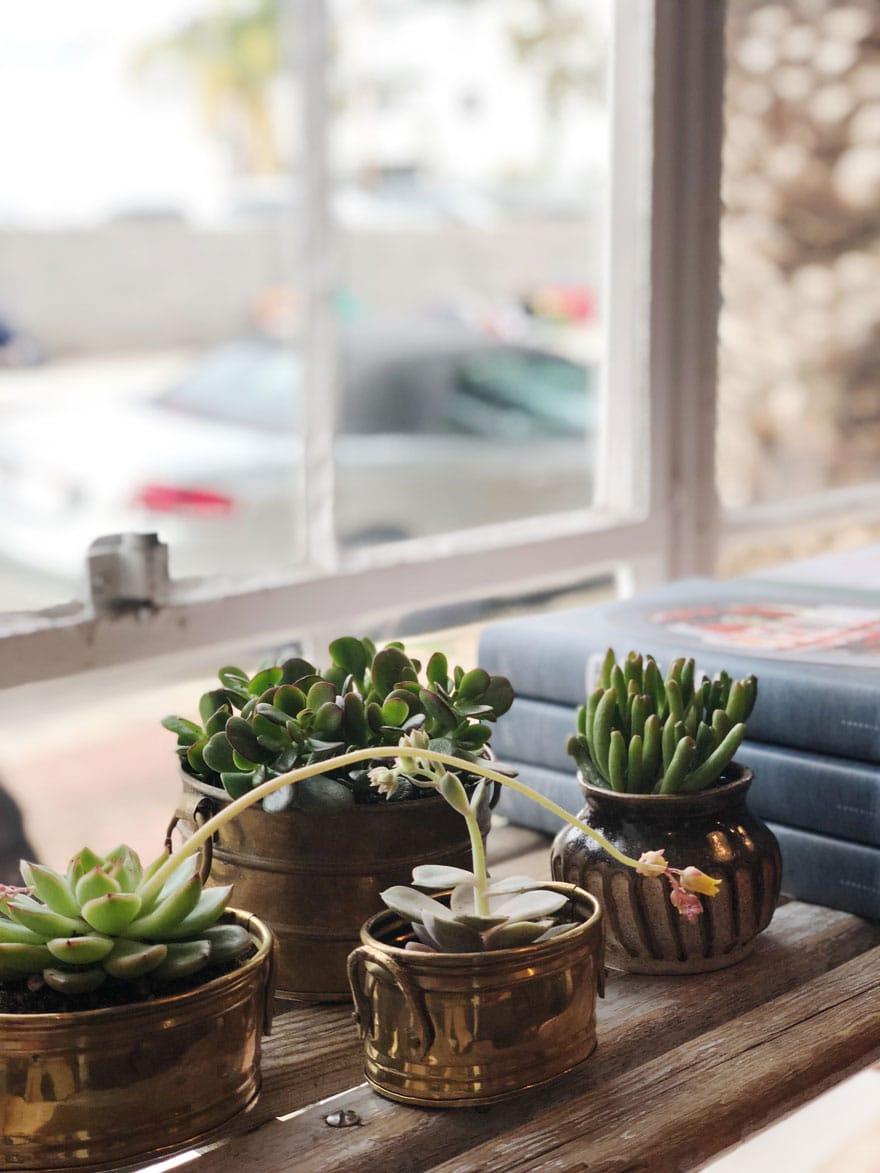 succulents in pots in window