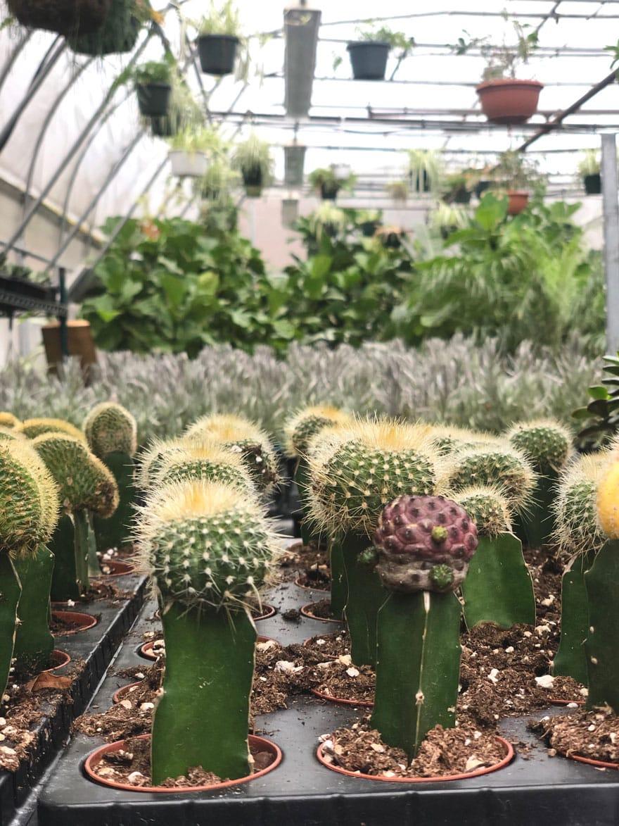 cactus in greenhouse