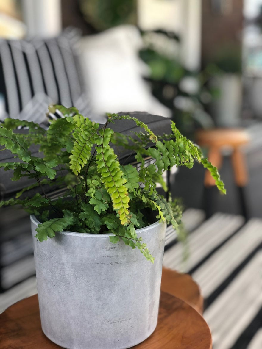 fern in gray planter