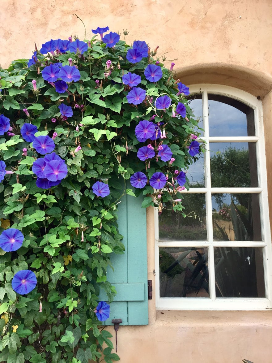 morning glories and green shutters