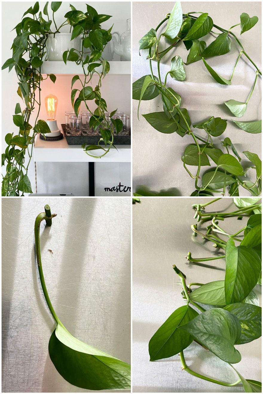 leaves, plant, vines