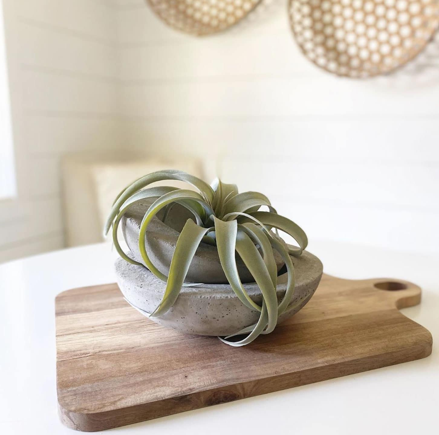 concrete bowl with air plant