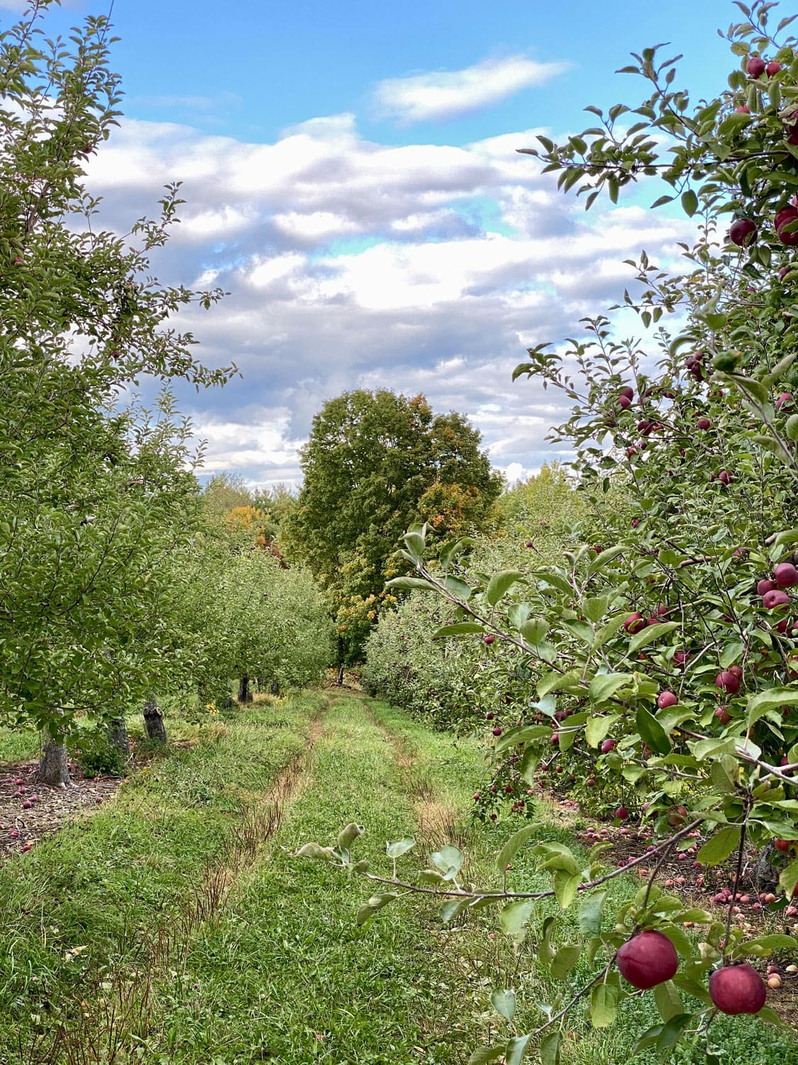 Apple Orchard in Vermont in the Fall