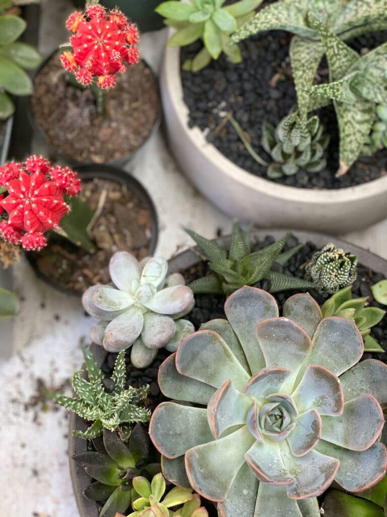 cactus succulents planted