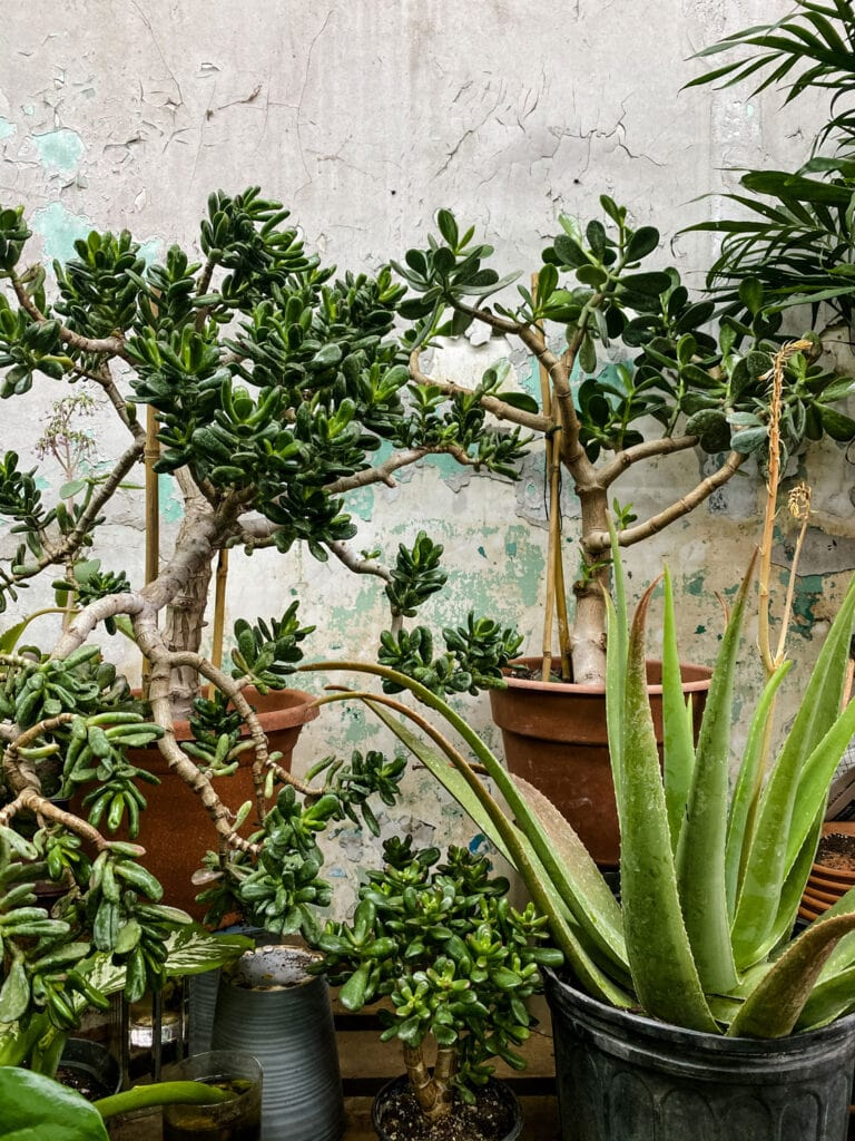 jade plant, snake plant against decaying wall