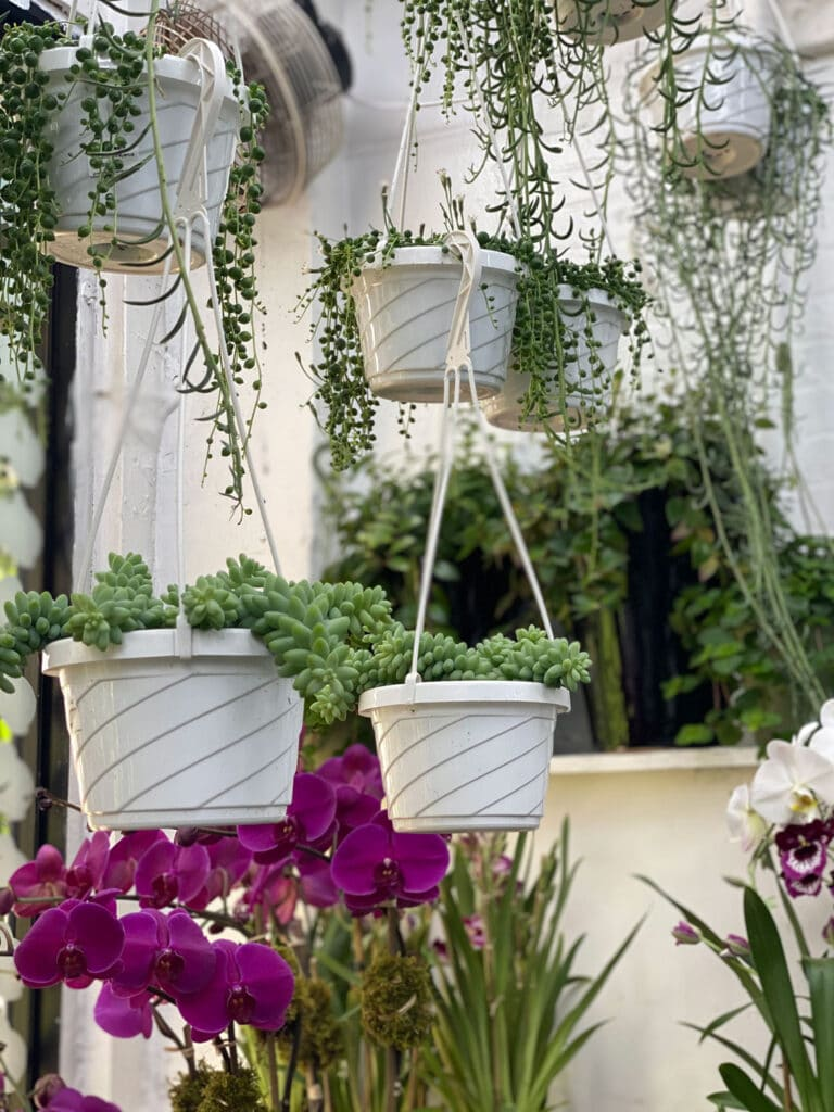 plants in white hanging pots, orchid
