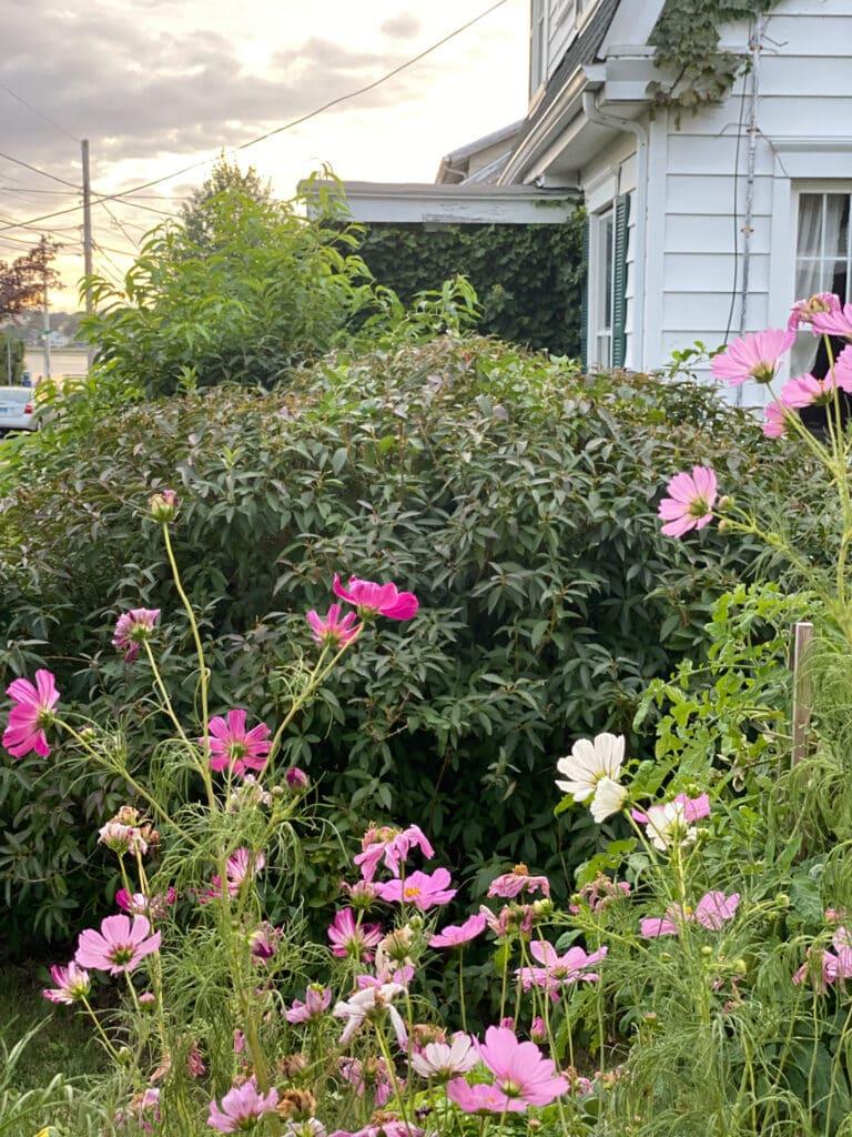Cosmos in September garden inspired my coastal porch decor.